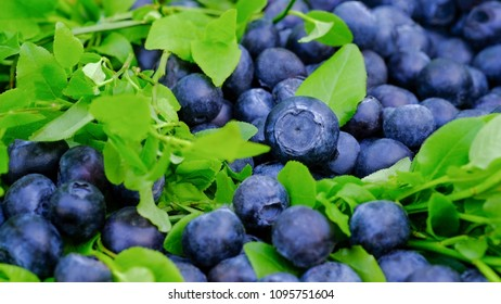 Soft focus macro view for blueberries with leafs and twigs. Blueberry is a natural super antioxidant.