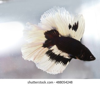 soft focus motion blur of blue white color Betta fish tail swim  in water  tank, Siamese fighting fish , breeding and copy space, France flag