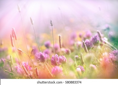 Soft focus on flowering clover, clover lit by sun rays