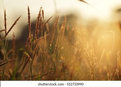 Soft focus on grass flower with sunset sunlight. Autumn grass on sunrise. Evening nature background.
