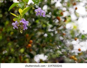soft focus on group light blue purple flower of small plant, Sky flower, Golden dew drop
