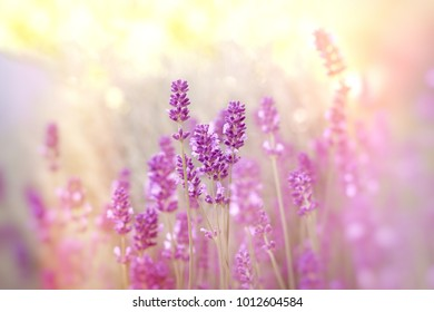 Soft focus on lavender flower, lavender flowers lit by sunlight