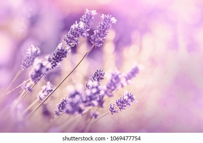 Soft focus on lavender flower, beautiful lavender in flower garden