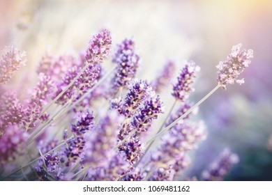 Soft focus on lavender flower, lavender flower lit by sunlight