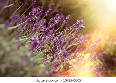 Soft focus on lavender flower, beautiful lavender in flower garden lit by sunlight