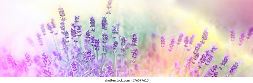 Soft focus on lavender flowers in flower garden, lavender flowers lit by sunlight