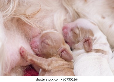 soft focus on little cocker spaniel's adorable baby puppy drinking milk from their mother