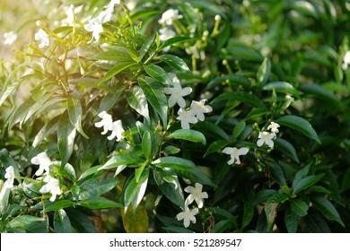 soft focus on white Gerdenia Crape Jasmine, white flowers under natural sunlight.