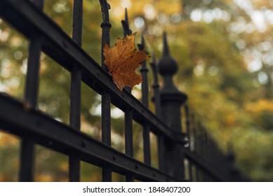 A soft focus of an orange autumn leaf caught on a black iron gate