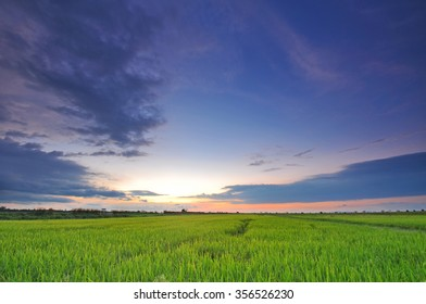 Soft focus of paddy field during sunset. Composition of nature at paddy field before harvest season. Image taken at Seberang Perak, Perak Malaysia.