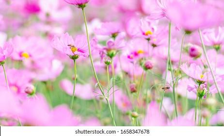 Soft focus pink cosmos flowers in the garden.
