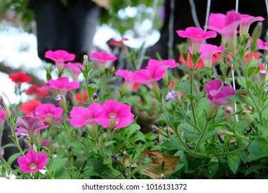 soft focus, pink flowers in the garden