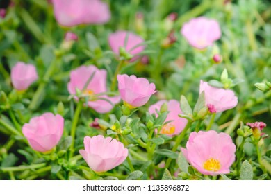 Soft focus of Pink Portulaca grandiflora (Portulaca, Moss Rose, Sun plant, Sun Rose) blooming in garden tropical zone thailand  to smooth fresh natural background.Selective focus.Smooth Vintage Tone.