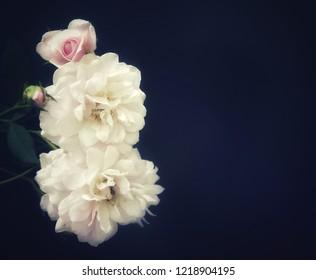 soft focus of pink rose on black background