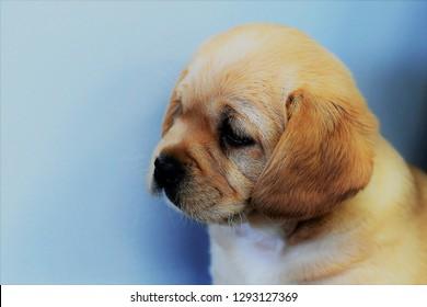Cavalier King Charles Spaniel Mix Bilder Stockfotos