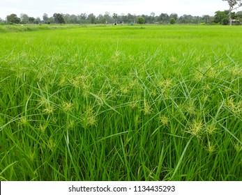 Lieblich The Soft Focus Of The Sedge, Umbrella Plant, Umbrella Sedge, Cyperaceae,  Weed