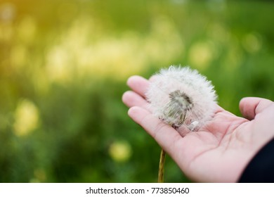 Soft focus of seen dandilion on woman hand