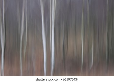Soft focus silver birch wood