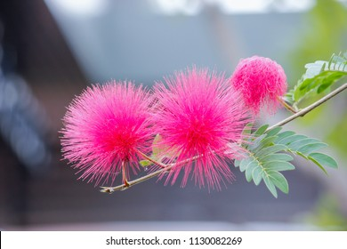 Soft focus to smooth natural flower of Beautiful Puff Of Pink mimosa flower on tree with blur leaf green and bokeh background.Selective focus.