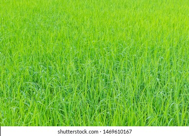 The soft focus surface texture of green paddy field, paddy leaf pattern.