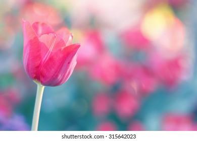 Soft focus of tulip in retro style