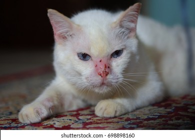 Soft focus White cat that is allergic to insect hypersensitivity.