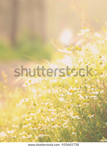 Soft focus of wild chamomile sunny lit meadow