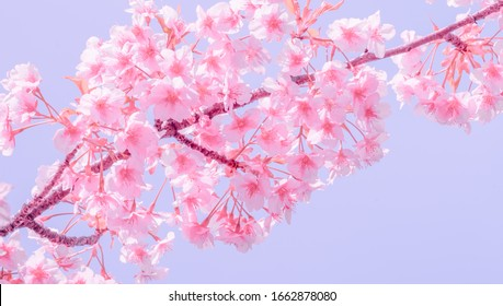 Soft focus,Cherry Blossom or Sakura flower on nature blur background in the morning a spring day