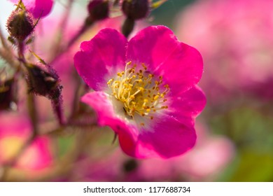Soft focused macro view of pink little roses. Slightly blurred, Could be used as background