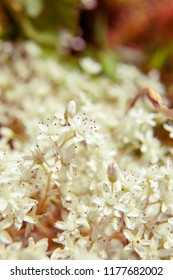Soft focused macro view of white little flowers. Could be used as background
