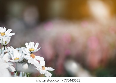 Soft focused on white flowers bloom on abstract blurred background  in a vast flower field. Beautiful and refreshing when see this scenery