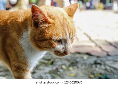 Soft Focus,sThe cat is cute and has a beautiful yellowish hairy appearance. It is a stray cat that has been left alone and is drinking water in a basin on a walkway. Pet Concepts or Cat Care
