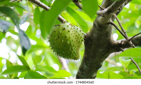 The soft fruit of soursop on the soursop tree.