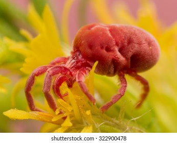 Soft, furry red velvet mite climbs on a yellow flower.  These tiny creatures look like red bean bag chairs.