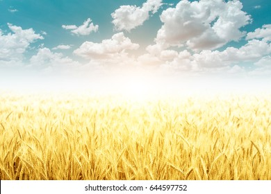 Soft Gold Barley in field and beautiful sky for Background