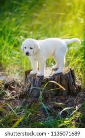 soft golden retriever puppy stands on a stump in the forest