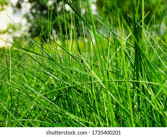 soft green image of grass  blade close-up with blurred green background in the distance. spring freshness. beauty in nature. abstract view. gardening and landscaping concept.