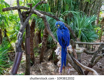 A soft image of a blue macaw, perched on a branch, preening its feathers, backed by palm trees and bamboo. To the left is a fat squirrel making its way down a branch; each oblivious to the other.