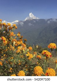 Soft image, closeup and selective focus of blooming highland carnation flowers with soft image of Annapurna Mountain Range in Ghandruk Kaski, Nepal.