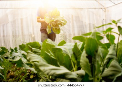 Soft image man harvest organic Chinese kale in the Greenhouse nursery.