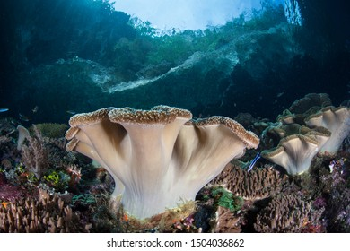 A soft leather coral grows on a reef slope amid the remote islands of Raja Ampat, Indonesia. This equatorial region is possibly the center for marine biodiversity.