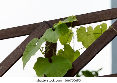 The soft leaves of Thailand zucchini on the fence