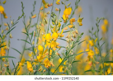 Soft light in nice day to Beautiful Nature Sunhemp or Crotalaria juncea field, the yellow flower field blooming on sunny day with have mountain background.Nong Khai  province Thailand.