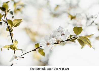 Soft and light tree blossoms