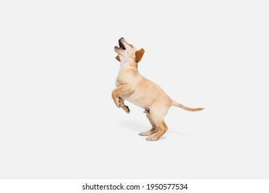 Soft. Little Labrador Retriever playing isolated on white studio background. Young doggy, pet looks playful, cheerful, sincere kindly. Concept of motion, action, pet's love, dynamic. Copyspace.