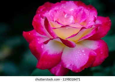 Soft macro of a tender rose Double Delight. Red petals are covered with raindrops or morning dew. Daylight. Nature concept for design