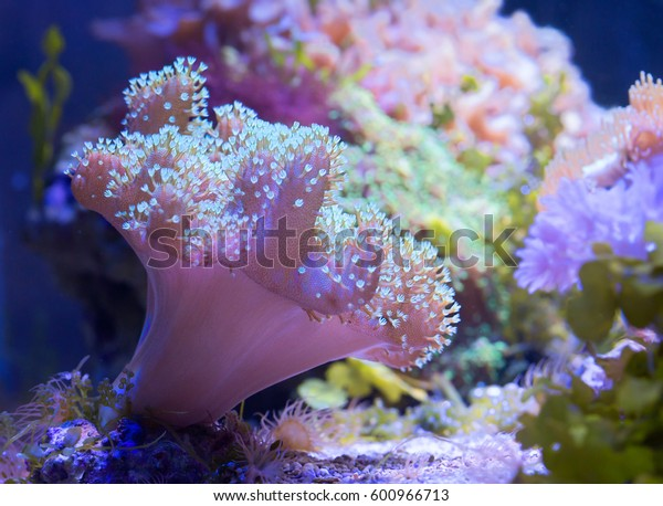 Soft mushroom  Leathery mushroom coral is one of the most popular soft corals.