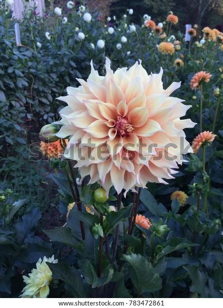 Soft Orange Fall Dahlia