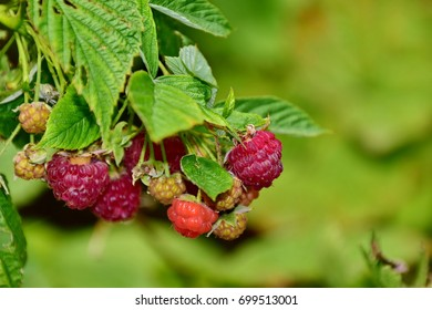 Soft, organic raspberries in the garden with foliage background