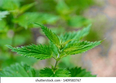 Soft peak of Urtica dioica on the ground (often known as common nettle) Stinging nettle is a herbaceous perennial flowering plant in the family Urticaceae, Originally native to Europe.